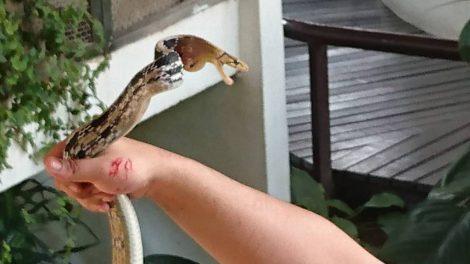 スネークファーム キングコブラショー