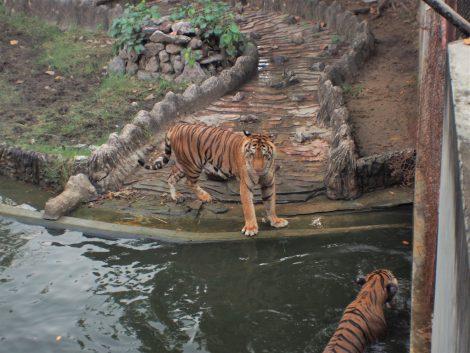 クロコダイルファーム トラ水泳