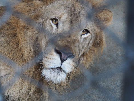 エレファントズー ライオン